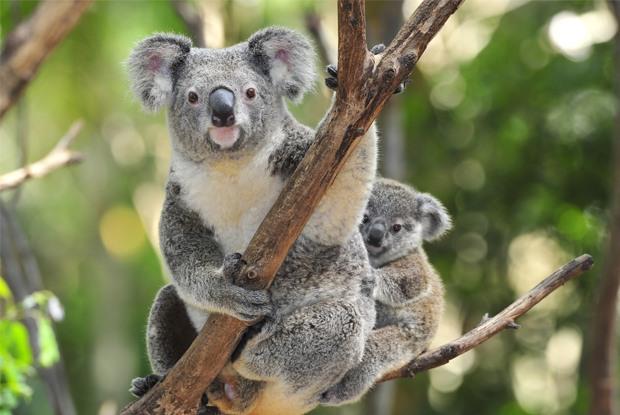 オーストラリアでコアラとカンガルーに会いたい!