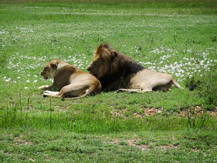 アフリカBIG5動物_ライオン