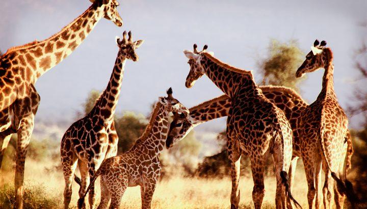 ケニアでサファリツアー体験!アフリカ屈指のサバンナ王国を楽しもう!